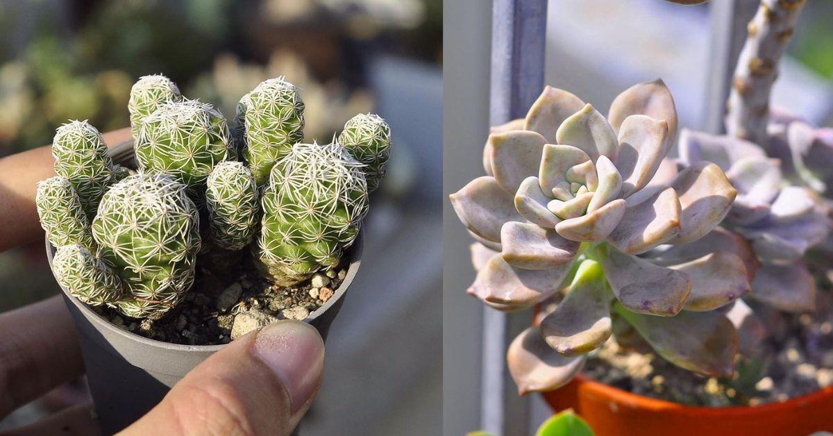 Succulents Cactus Care Guide Malaysia By Cactus Expert Jacktus